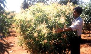 Dwarf Hybrid Mango flowering in a mixed farming project