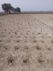Aloevera cultivation under contract cropping