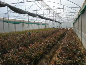 Dutch Rose cultivation under polyhouse