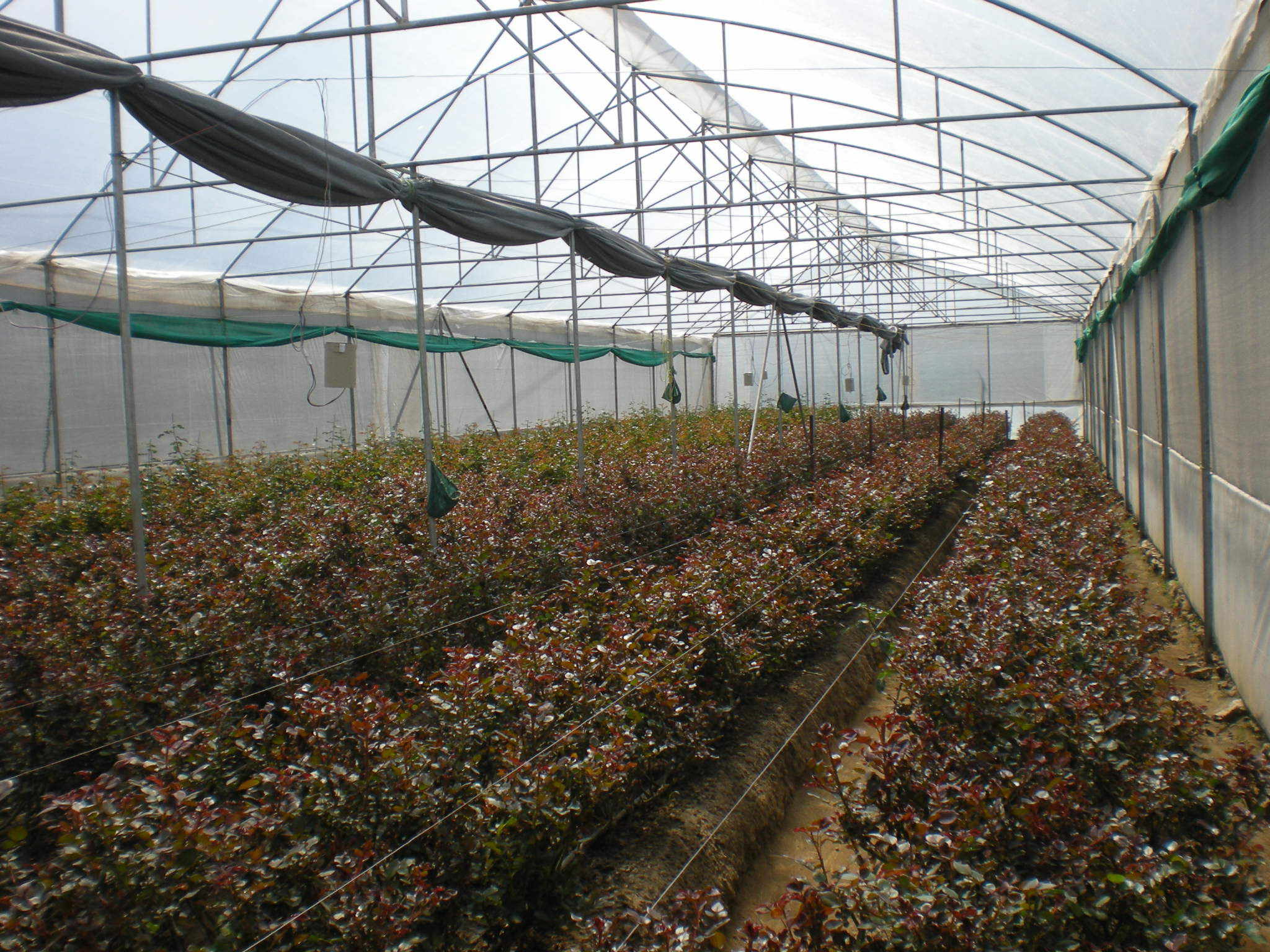 Dutch rose cultivation under polyhouse sudharma krishi for Terrace krishi