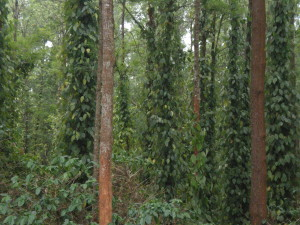 A seven year old pepper plantation project