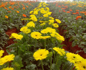 Gerbera cultivation under Polyhouse