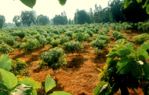 High density Mango farming - 490 plants in 1 Acre